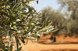 La hoja de olivo, un nuevoantioxidante