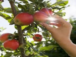 recoger los frutos